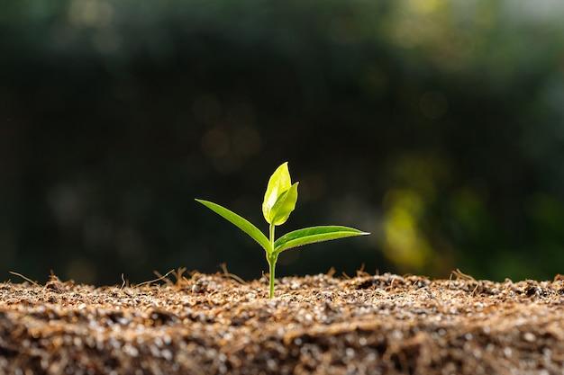 肥沃な土壌で若い芽を閉じます。