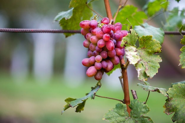 Close-up of young vine plant with green leaves and bright pink ripe grape cluster lit by sun
