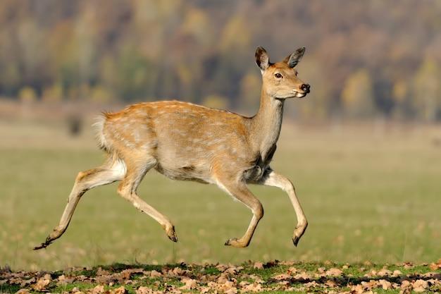 Крупным планом молодой белохвостый олень, стоящий в осенний день
