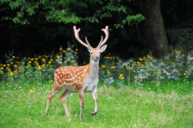夏の森に立っているクローズアップの若いオジロジカ