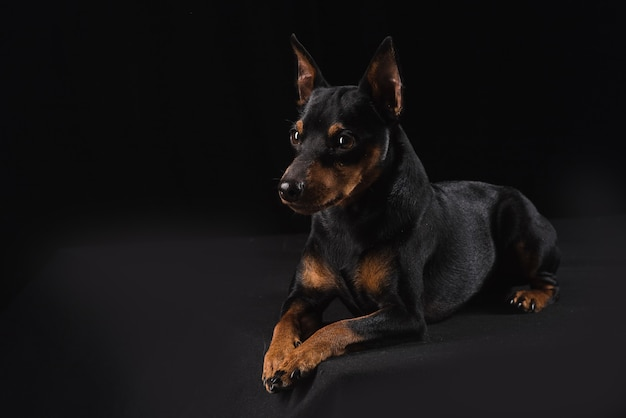 Close up on young zwergpinscher isolated