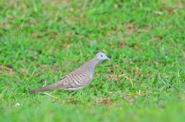 Close up of zebra dove on green grass