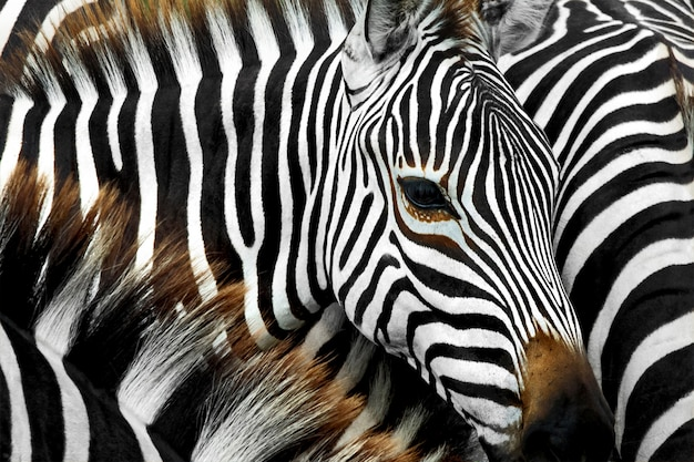 Close up zebra head that is in many zebra herds.