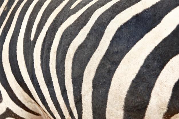 Close up on zebra's stripped skin