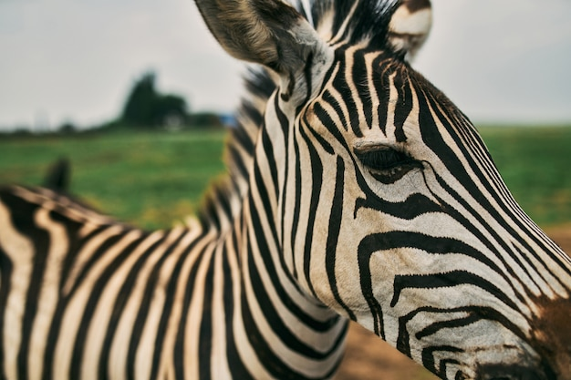 Close-up of a zebra that walks in a nature reserve with green grass.