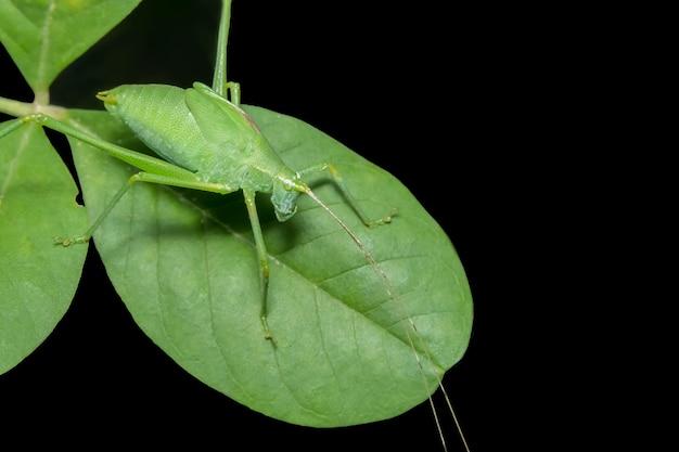 クローズアップ葉の上に緑のメロッコ