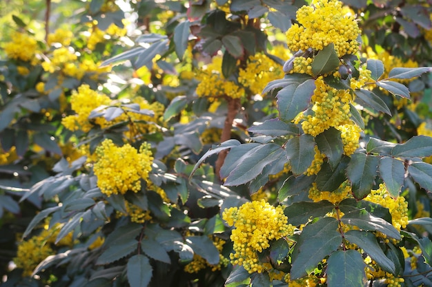 Close view of blooming yellow oregon grape