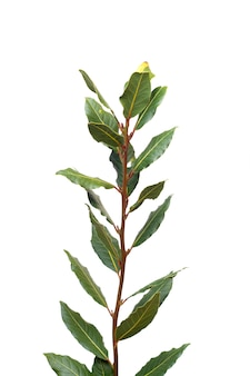 Close view of a branch of sweet bay laurel leafs.