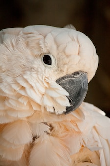 Close view of the head of a salmon-crested cockatoo.