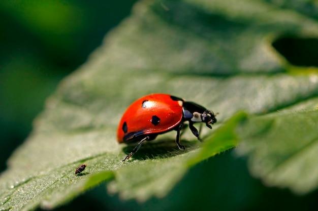 Закрыть вид насекомого-божья коровка на зеленом листе.