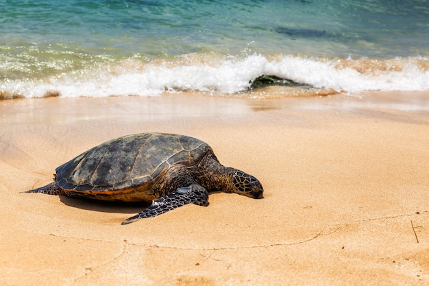 Close view of sea turtle resting on laniakea beach on a sunny day, oahu, hawaii