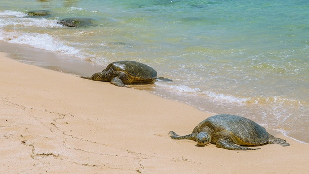 Close view of sea turtles resting on laniakea beach on a sunny day, oahu, hawaii