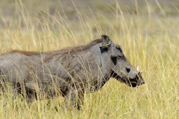 Закройте бородавочник в национальном парке африки, кения