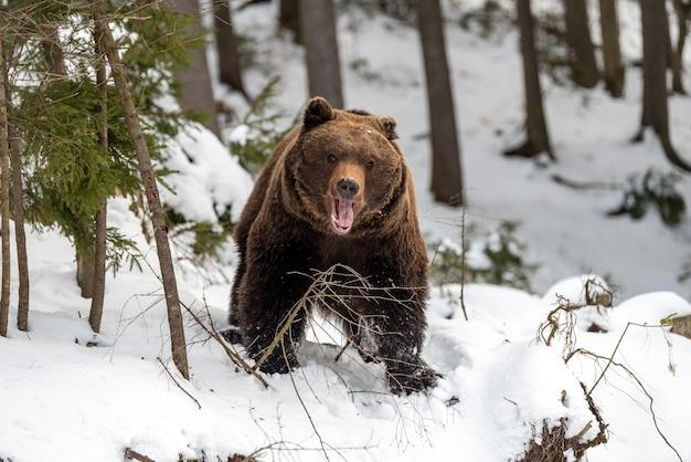 Крупным планом дикий большой бурый медведь в зимнем лесу
