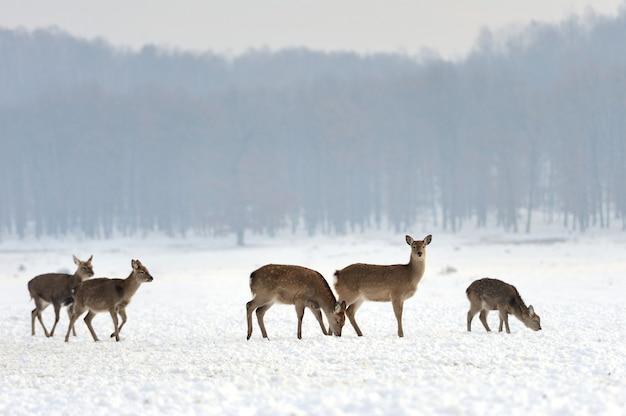 Закройте молодых оленей в зимнее время