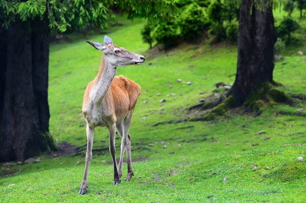 Close young female deer in summer forest