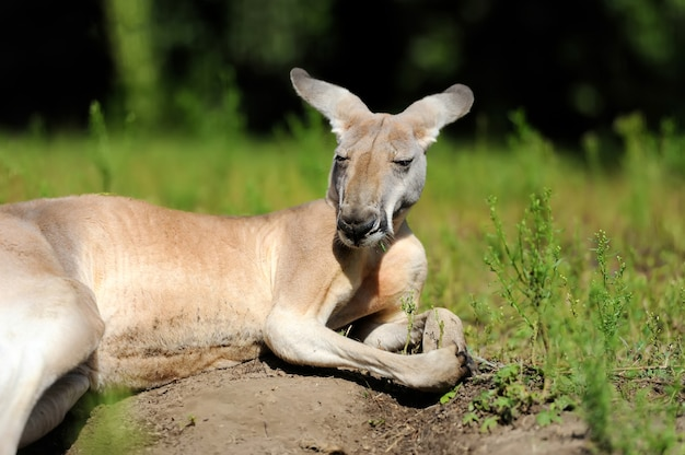 草の中で若いカンガルーを閉じる