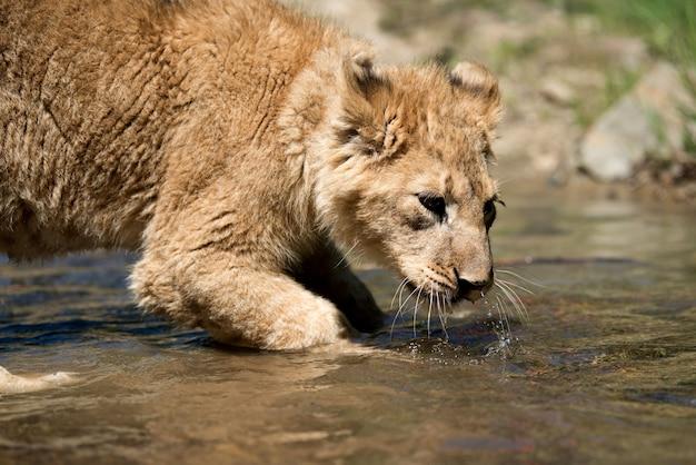 若いライオンの子が水を飲む