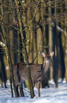 Закройте молодых величественных благородных оленей в зимнем лесу. симпатичное дикое млекопитающее в естественной среде. сцена дикой природы от природы