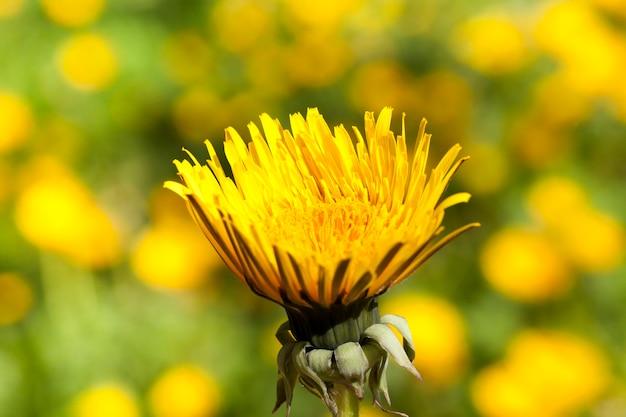 夜や寒い時期には、黄色いタンポポのつぼみが閉まります。牧草地の写真のクローズアップ。春、クローズアップ写真