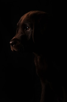Closed portrait of beautiful chocolate colored labrador puppy in profile with attentive look to the side isolated on black background, front view