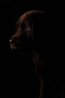 黒の背景、正面に分離された側に注意深く見てプロファイルで美しいチョコレート色のラブラドール子犬の閉じた肖像画