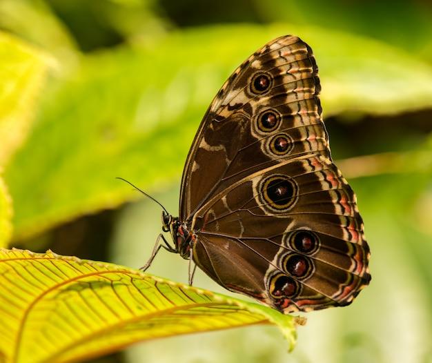 Закрытая тропическая бабочка сидит на листе