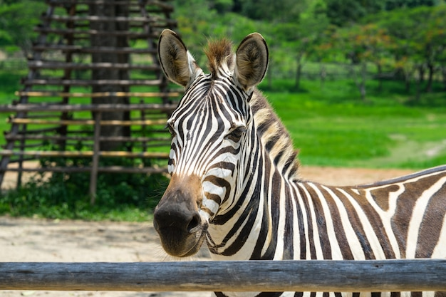 Closed up african zebra on the field