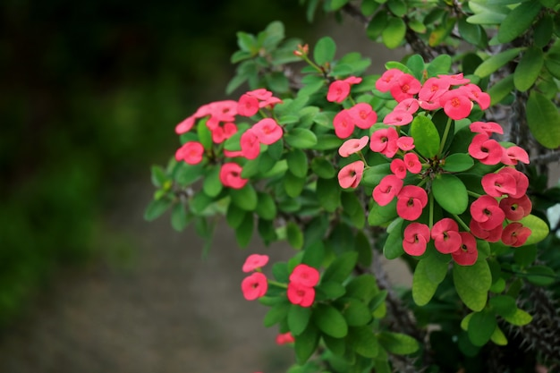 Closed up bunch of blooming vivid pink color crown of thorns flowers with green leaves