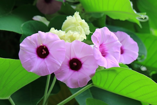 Closed up bunch of vibrant purple pink argyreia nervosa or woolly morning glory flowers