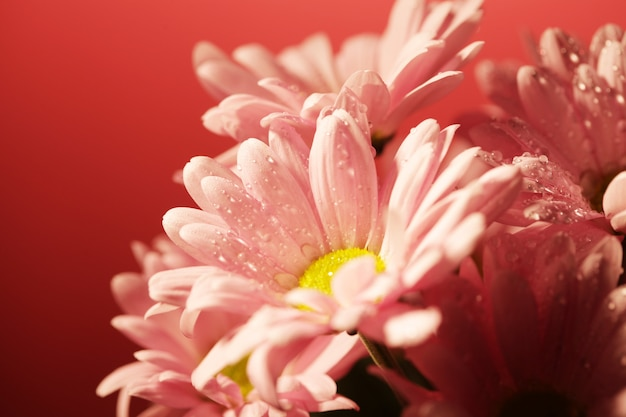 Closed up chrysanthemum over pink background