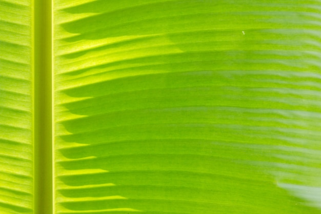 Closed up of green banana leaf background