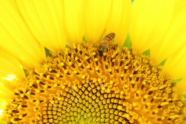 Closed up half image of a full bloom sunflower with a little bee collecting nectar