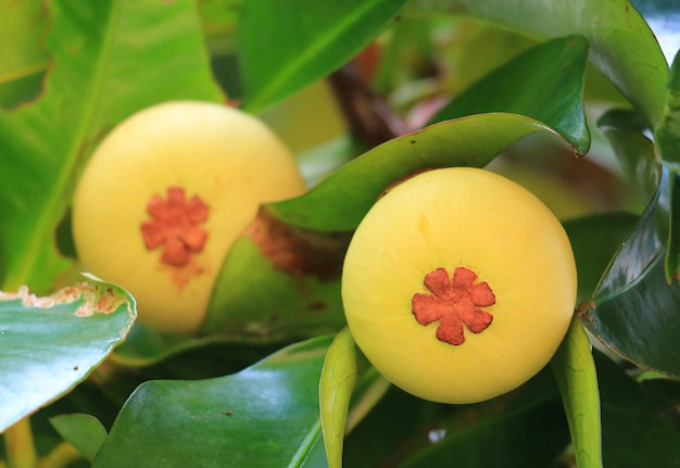 Closed up pair of young mangosteen fruits on the tree in thailand