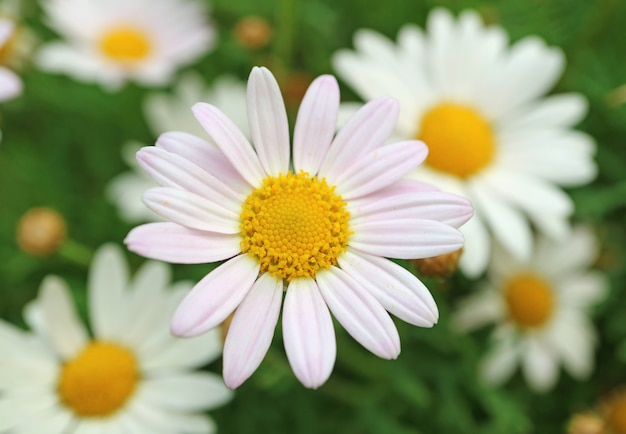 Closed up pale pink daisy flower with blurred white daisies in background