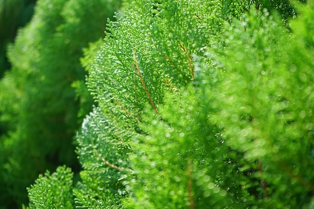 Closed up pine tree image freshness of green color in spring time