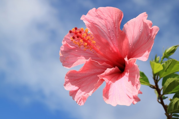Closed up pink hibiscus with raindrops against blue cloudy sky, easter island, chile