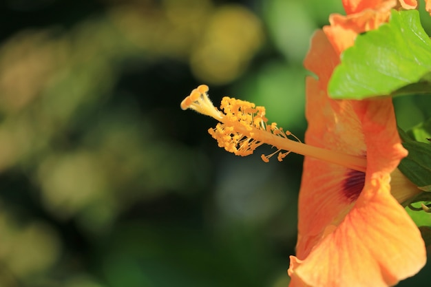 Closed up the pollen of orange color hibiscus in the sunlight, easter island, chile