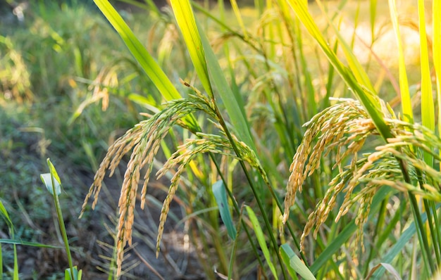 Closed up of ripening rice in a paddy field with sunlight