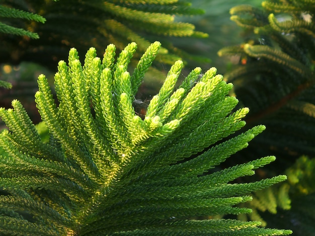 Closed up vibrant green leaves of cook pine tree in the afternoon sunlight with selective focus