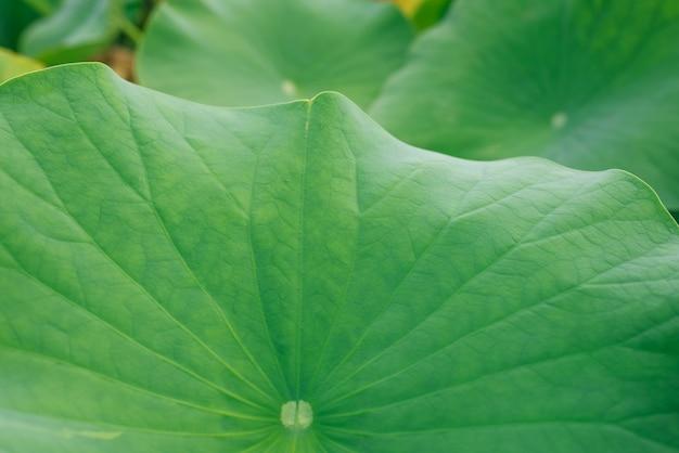 蓮の葉はテクスチャcloseop
