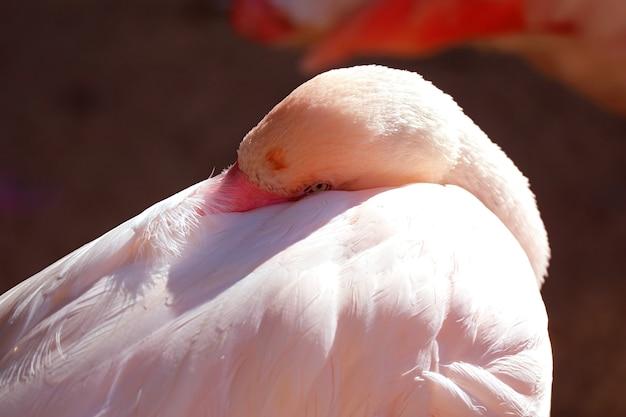 Крупным планом красивый розовый фламинго готовится ко сну