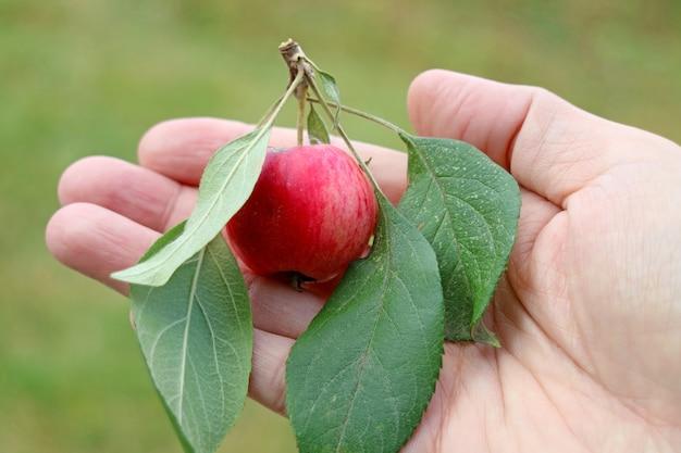 手に小さな新鮮な熟したカニりんごの果実をクローズアップ