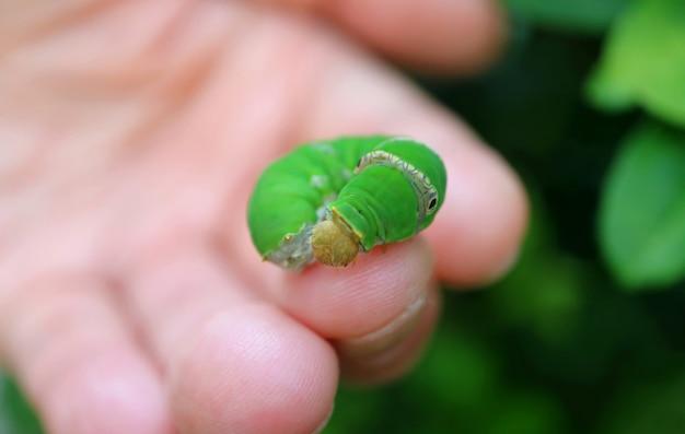 指に鮮やかな緑の菩提樹の幼虫をクローズアップ