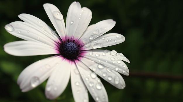 Крупным планом цветок ромашки белый мыс с капельками росы