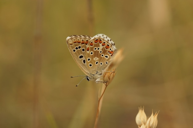Closeup of an adonis blue (lysandra bellargus) butterfly with closed wings