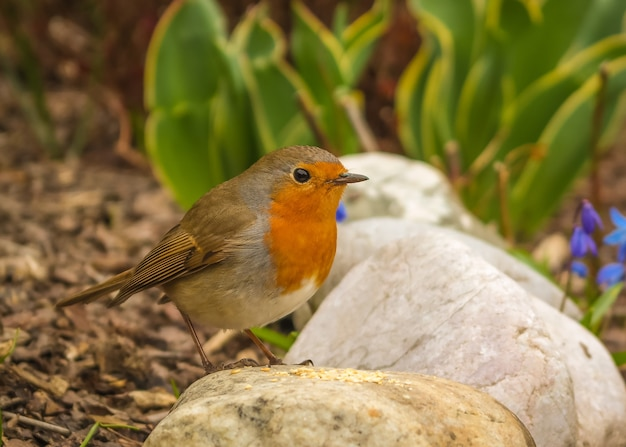 Closeup of an adorable european robin perched on a rock in a garden