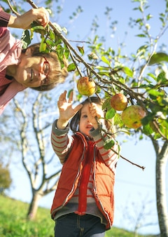 Closeup of adorable little girl picking fresh organic apples from the tree with senior woman in a sunny autumn day. grandparents and grandchildren leisure time concept.