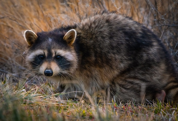 Closeup of an adorable raccoon on the ground around the great salt lake in utah, the us