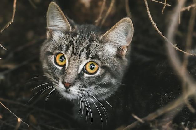 Очаровательная короткошерстная серая кошка крупным планом с золотыми глазами на открытом воздухе.